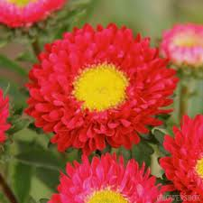ASTER-MATSUMOTO-RED 10 STEMS