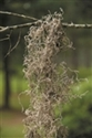 SPANISH MOSS NATURAL  1.24 CUBIC FT BX