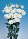 LISIANTHUS WHITE GROWER BUNCH