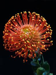 PROTEA-PINCUSHION ORANGE  PER STEM