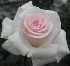 ROSE-LONG-BRIDAL AKITO 25 STEM