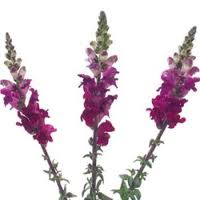 SNAPDRAGON-PURPLE 10 STEM