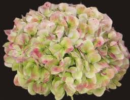 HYDRANGEA-ANTIQUE GREEN PER STEM