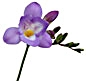 FREESIA-PURPLE 10 STEM