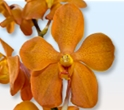 MOKARA ORCHID-ORANGE 10 STEMS
