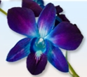 DENDROBIUM-TINTED BLUE 10 STEMS