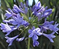 AGAPANTHUS-BLUE PER STEM agapantus, aggies, lily of the nile