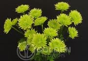 ATHOS GREEN POMPON GROWER BUNCH