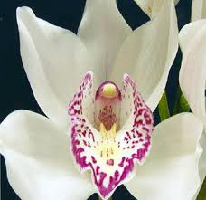 CYMBIDIUM SPRAY-WHITE 8-12 BLOOM