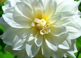 DAHLIA-WHITE 5 STEMS