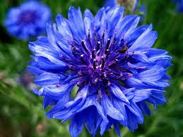 CORNFLOWER-BLUE 10 STEMS