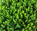 HYPERICUM GREEN 10 STEMS