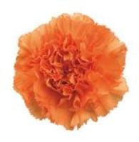 CARNATION-ORANGE 25 STEMS