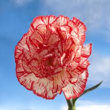 CARNATION-PEPPERMINT 25 STEMS
