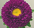 ASTER-MATSUMOTO-PURPLE 10 STEMS