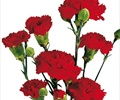 CARNATION-MINI-RED 10 STEMS