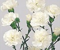 CARNATION-MINI-WHITE 10 STEMS