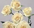 SPRAY ROSE-IVORY 10 STEMS