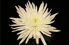 SPIDER MUM WHITE 10 STEM