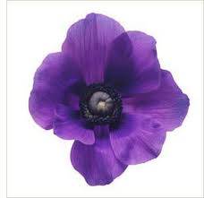 ANEMONE-PURPLE 10 STEMS