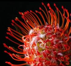 PROTEA-PINCUSHION RED  PER STEM