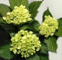 HYDRANGEA-MINI GREEN PER STEM