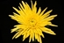 SPIDER MUM YELLOW 10 STEM