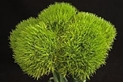 DIANTHUS-GREEN BALL 10 STEMS