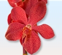 MOKARA ORCHID-RED 10 STEMS