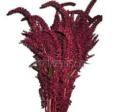 AMARANTHUS-RED-UPRIGHT 10 STEMS