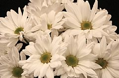 DAISY-WHITE GROWERS BUNCH