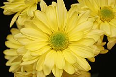 DAISY-YELLOW GROWERS BUNCH