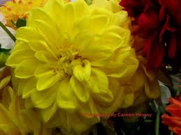 DAHLIA-YELLOW 5 STEMS