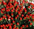HYPERICUM RED 10 STEMS