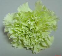 CARNATION-GREEN 25 STEMS