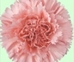 CARNATION-LT PINK 25 STEMS