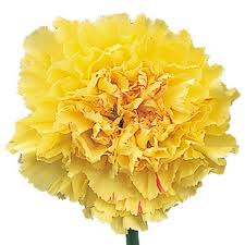 CARNATION-YELLOW 25 STEMS