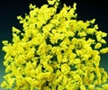 LIMONIUM-YELLOW-GROWER BUNCH