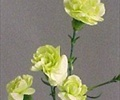 CARNATION MINI-GREEN 10 STEMS