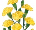CARNATION-MINI-YELLOW 10 STEM