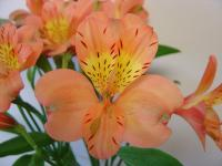 ALSTROMERIA, PEACH 10 STEMS